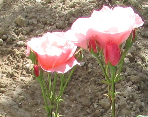 Ruže u sjaju sunca