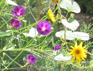Suncokret s ljubičastim povijušama u mom permakulturnom vrtu