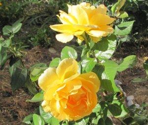 Žute ruže u mom malom vrtu