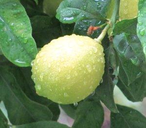 Žuti se žuti moj mali limun na jutarnoj kiši